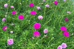 Pink Flower  Portulaca Stock Photos