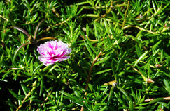 Pink flower Portulaca oleracea Stock Images