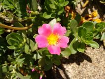 Pink flower of portulaca. The purslane is any of a number of small, typically fleshy-leaved plants that grow in damp habitats or waste places, in particular Stock Photos