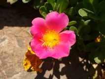 Pink flower of portulaca. The purslane is any of a number of small, typically fleshy-leaved plants that grow in damp habitats or waste places, in particular Royalty Free Stock Photos