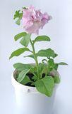 Pink flower in a pot. On a light background stock photography
