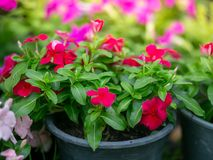 Pink flower in pot on blurred back ground. Pink flower in pot on blurred back ground royalty free stock photography