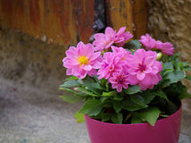 Pink flower pot Royalty Free Stock Photography