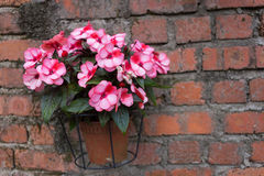 Pink flower in pot on brick wall Royalty Free Stock Image