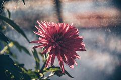 Pink flower in the pot. royalty free stock photo