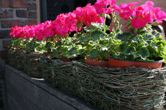 Pink flower pots. Row of pink flowers in pots Stock Photography