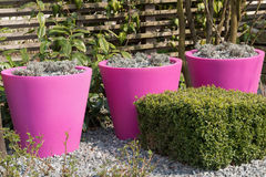 Pink flower pots Royalty Free Stock Image