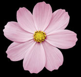 Pink flower Primula.  the black isolated background with clipping path. Closeup. Royalty Free Stock Photos