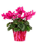 Pink flower in red pot Royalty Free Stock Photos