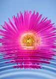 Pink flower reflection Royalty Free Stock Photo