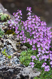 Pink flower and rock. Saxifrage and erinus alpinus Royalty Free Stock Images