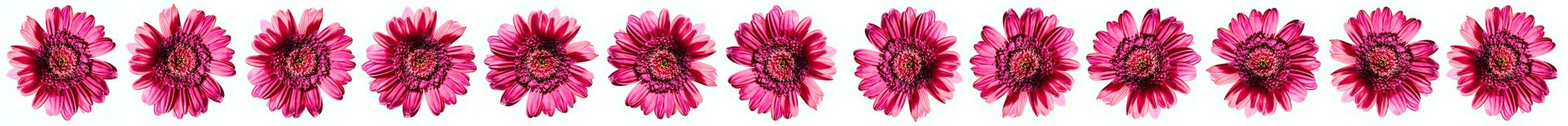 Pink flower rolling Royalty Free Stock Photos