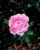 Pink flower. Rose at aschcombe maze stock images