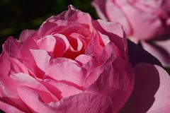 Pink flower of rose of genus Rosaceae, varieta Lada. Another one in background Stock Images
