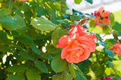 Pink flower of rose on a green branch Stock Photos