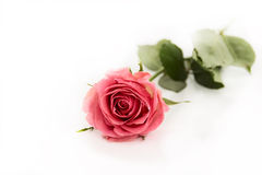 Pink flower rose with green leaves. On a white background, isolated, close up Stock Images