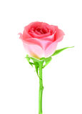 Pink flower of rose on a green stalk Stock Photos