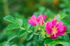 Pink Flower Of Rose. Rose Is A Woody Perennial Flowering Plant O. F The Genus Rosa, In The Family Rosaceae, Or The Flower It Bears stock photos