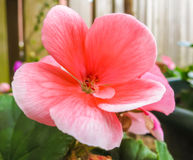 Pink flower with round petals. In garden. close-up Stock Image