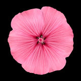 Pink Flower with Round Petals like Petunia Stock Photo