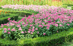 Pink flower row with the sunshine. Stock Image