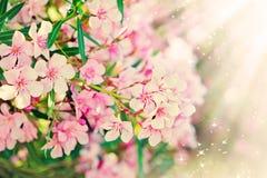Pink flower's branch - Oleander Nerium Royalty Free Stock Images