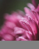 Pink flower`s petals Royalty Free Stock Photo
