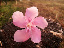 Pink flower in sepia tone valentine background Royalty Free Stock Images