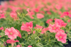 Pink flower shrub Royalty Free Stock Images