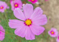 Pink flower. Single pink flower of cosmos Stock Photo