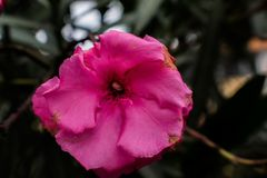 Pink flower. Small flower in san lucas toliman guatemala Stock Images