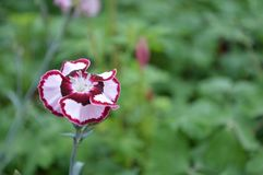 Dianthus in bloom Royalty Free Stock Image