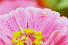 Pink flower and spider Royalty Free Stock Image