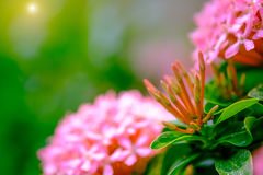 Pink flower spike, Rubiaceae flower Stock Images