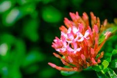 Pink flower spike, Rubiaceae flower Stock Photography