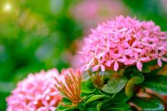 Pink flower spike, Rubiaceae flower Stock Photo