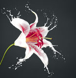Pink flower with splashes Royalty Free Stock Images