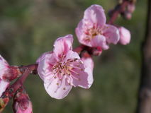 Pink flower. In spring Stock Photo