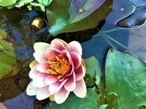 Pink flower, spring time. Sleeping beauty, light, water, pink flower, spring time, lotus, leaves, roots, uniqueness and preciousness, colours, fairytale and royalty free stock image