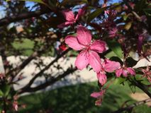 Pink Flower Springtime. Beautiful Pink Flower Stock Images