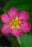 Pink flower strawberries planted in the garden. Royalty Free Stock Image