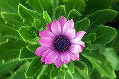 Pink flower from a succulent plant stock image