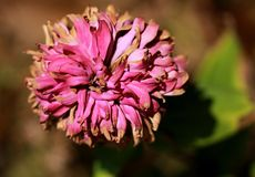 Pink Flower in the Sun Royalty Free Stock Photo