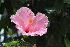 A pink flower in the sun. A pink flower with the sun shining down on it Stock Image