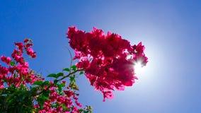 Bougainvillea with sunshine breaking through stock image