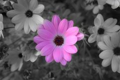 Gloomy pink flower royalty free stock photography