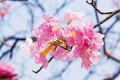 Pink flower Tabebuia rosea Stock Images