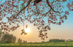 Pink flower tree bloom with sunset sky royalty free stock image