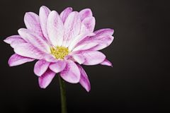 Pink flower on left side Royalty Free Stock Photos