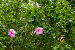 Pink flower in Thailand Stock Image